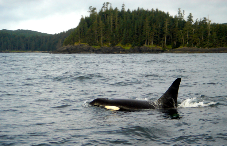 Resident killer whale passing through Langara Island, BC.