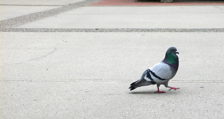 A pigeon showing off it's swagger around UBC campus.