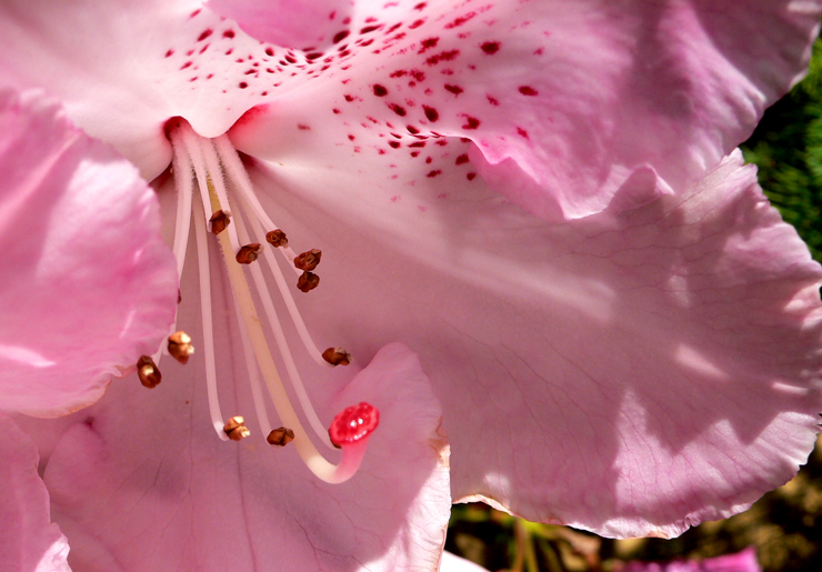 Pink Rhododendron Flower.